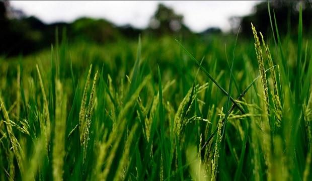 рис на поле