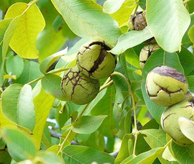 Что важно знать о грецких орехах