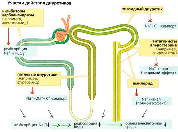 Участки действия диуретиков