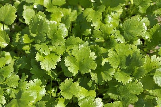 свежя зелень кинзы