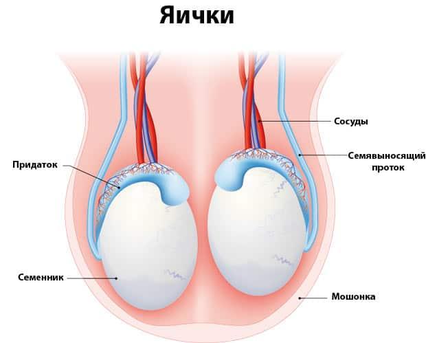 Схематичное изображение яичек
