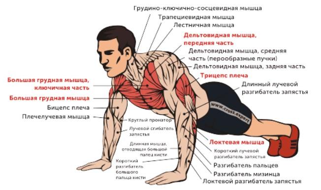 работающие мышцы в отжиманиях