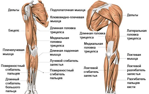 анатомия мышц рук и плеча